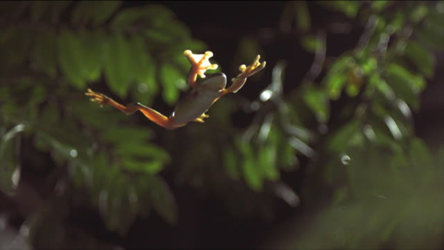 a gliding leaf frog falls splay-legged past leaves and branches. available in hd. - frog stock videos and b-roll footage