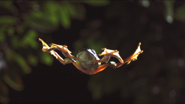 a gliding leaf frog falls splay-legged past leaves. available in hd. - frog stock videos and b-roll footage