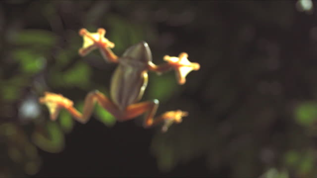 A gliding leaf frog free-falls past leaves. Available in HD.