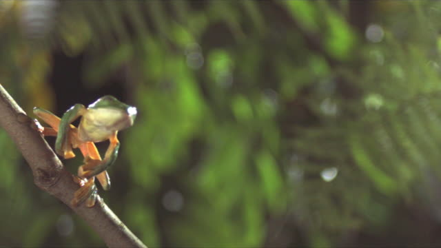 a gliding leaf frog leaps from a branch. available in hd. - frog stock videos and b-roll footage