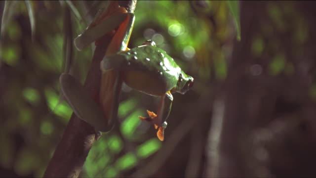 vídeos y material grabado en eventos de stock de a gliding leaf frog leaps from a slender branch. available in hd. - rana
