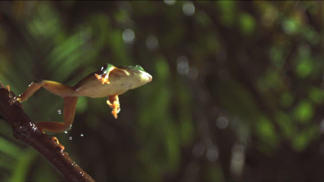 a gliding leaf frog leaps from a slender branch. available in hd. - jumping stock videos & royalty-free footage