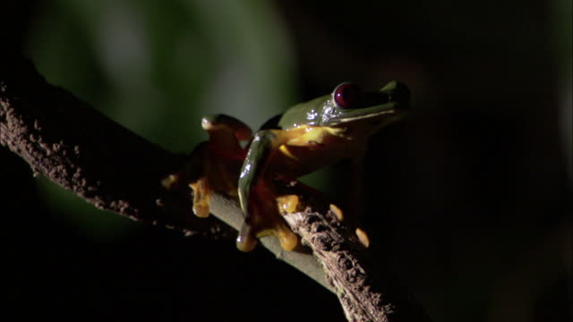 gliding leaf frog (agalychnis spurrelli) leaps off vine, costa rica - twig stock videos & royalty-free footage