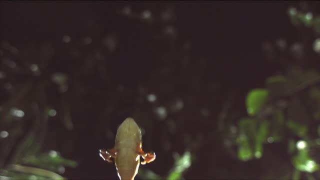 a gliding leaf frog leaps splay-legged past leaves. available in hd. - frog stock videos and b-roll footage