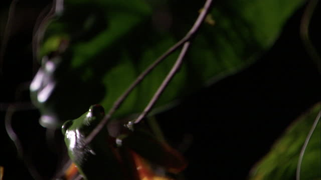 gliding leaf frog (agalychnis spurrelli) struggles on twig, costa rica - twig stock videos & royalty-free footage