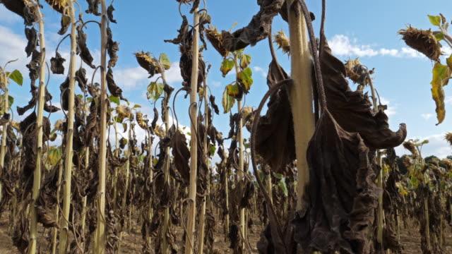 vídeos de stock e filmes b-roll de global warming. burned sunflowers,loiret,  france - crise mundial de alimentos