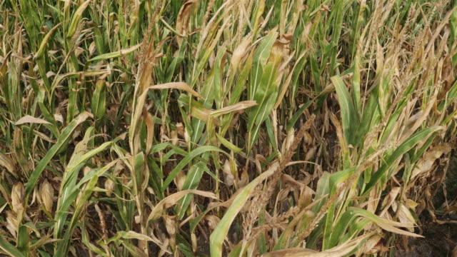 vídeos de stock e filmes b-roll de global warming. field of burned maize, loiret, france - crise mundial de alimentos