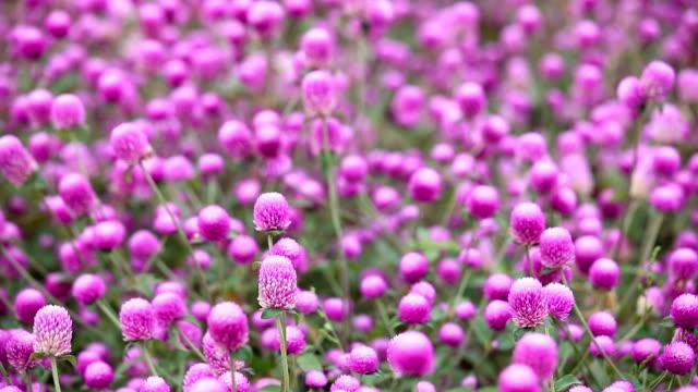 globe amaranth blossoms - magenta stock videos & royalty-free footage