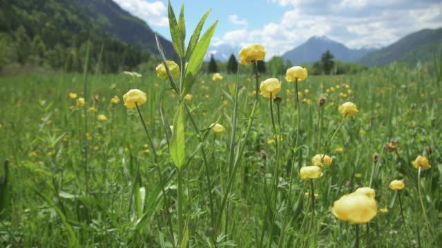 vídeos de stock, filmes e b-roll de globeflowers - montanha zugspitze