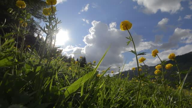 globeflowers - 30秒以上点の映像素材/bロール