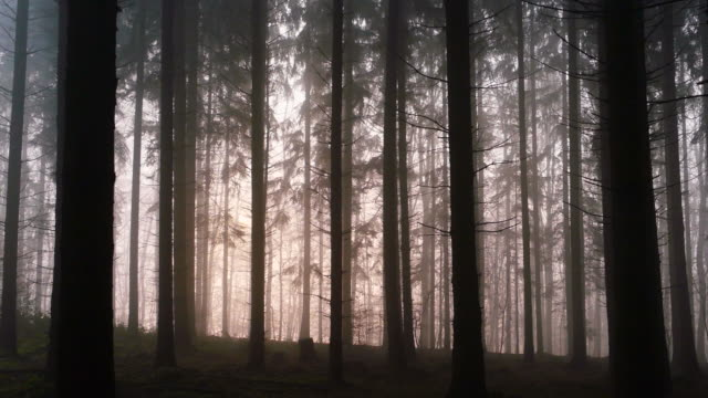 Gloomy mood in coniferous forest