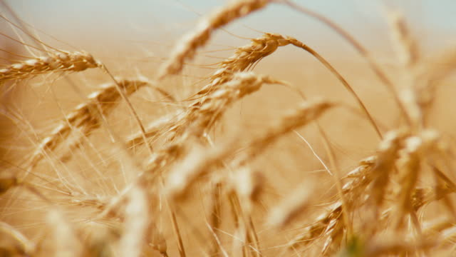 glorious field of wheat; camera racks focus to a close up of the golden grain waving in the breeze. - traktor stock-videos und b-roll-filmmaterial