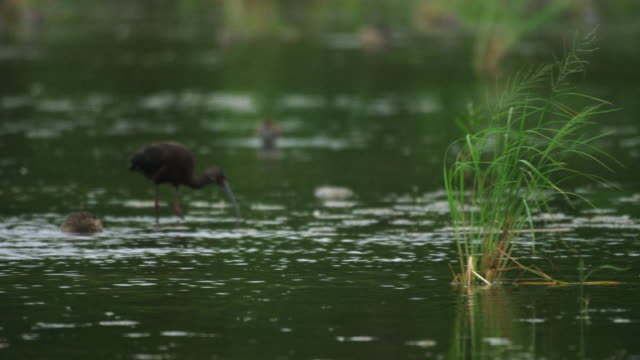 vídeos y material grabado en eventos de stock de glossy ibis and duck - grupo mediano de animales