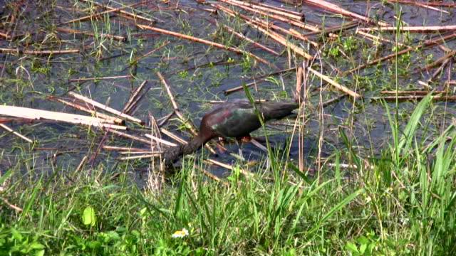 glänzende ibis füttern in einem feuchtgebiet - water bird stock-videos und b-roll-filmmaterial