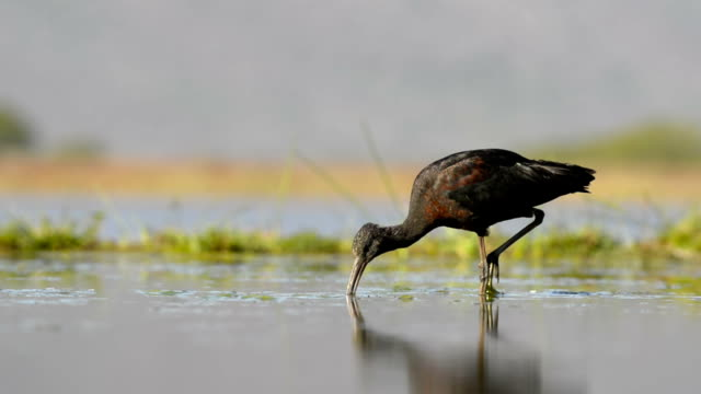 glossy ibis feeding - foraging stock videos & royalty-free footage