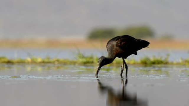 glossy ibis feeding - foraging stock videos & royalty-free footage