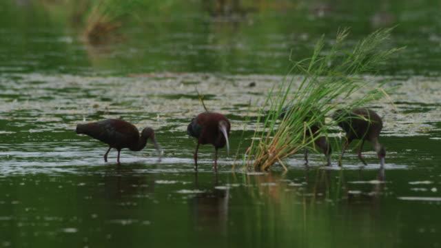 vídeos y material grabado en eventos de stock de glossy ibis in water - grupo mediano de animales