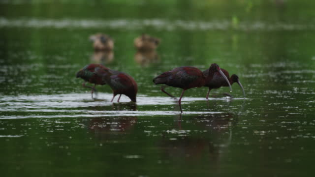 glossy ibis in water - four animals stock videos & royalty-free footage