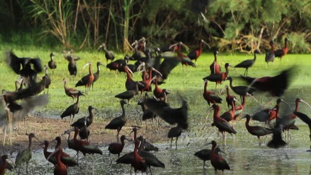 Glossy ibis (Plegadis falcinellus), wintering in Israel. Feeding in pools.