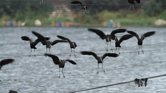 Glossy ibis (Plegadis falcinellus), wintering in Israel. Standing on a wire above a pool in the rain.