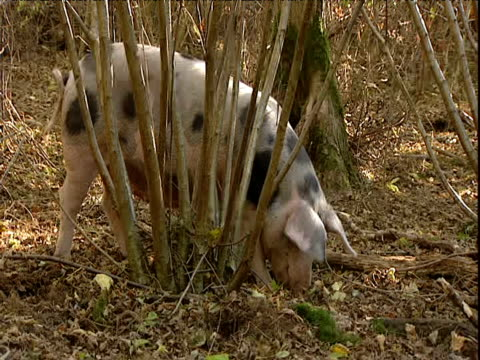 gloucester old spot pig snuffles for food in wood - pig stock videos & royalty-free footage