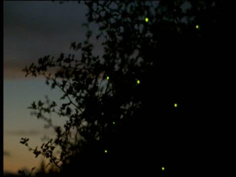 glow worms in tree, devon - 蛍点の映像素材/bロール