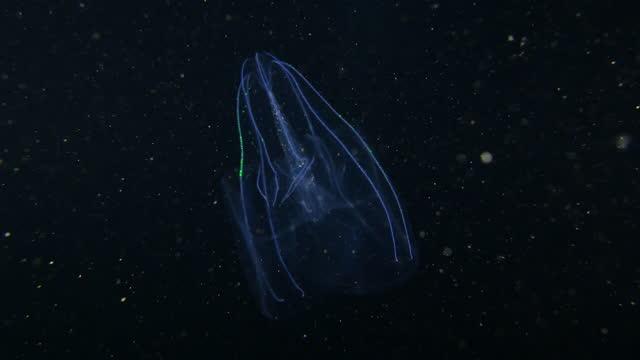glowing jellyfish swimming in black sea at night in taiwan - tentacle stock videos & royalty-free footage