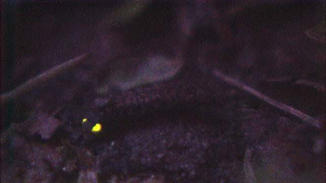 vídeos de stock e filmes b-roll de glowing larva of luciola lateralis moves slowly over forest floor at night, aichi, japan - pirilampo escaravelho