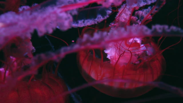 glowing pink jellyfish - shedd aquarium stock videos and b-roll footage