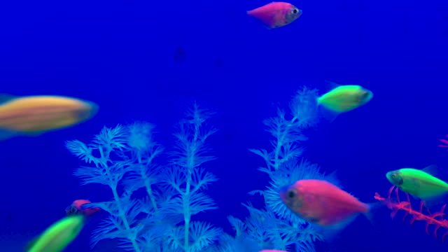 Glow-in-the-dark tetra fish