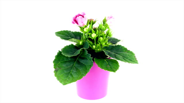 gloxinia flower blooming; time lapse - pot plant stock videos and b-roll footage