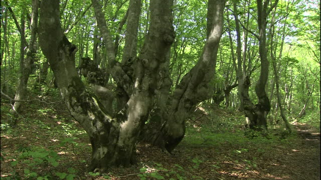 a gnarled japanese beech tree branches off into two in the forest of mt. chokai, japan. - 鳥海山点の映像素材/bロール