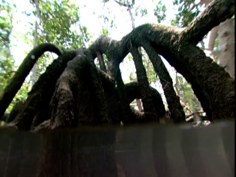 Gnarled mangrove roots reach to a murky riverbed.