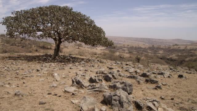 Gnarled tree in desert, Dhofar, Oman