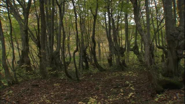 gnarly japanese beech trees grow on mt. chokai, japan. - beech tree stock videos and b-roll footage