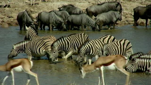 gnu zebra impala - 2009 stock videos and b-roll footage