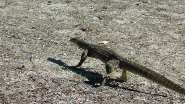 goanna - lizard stock videos and b-roll footage