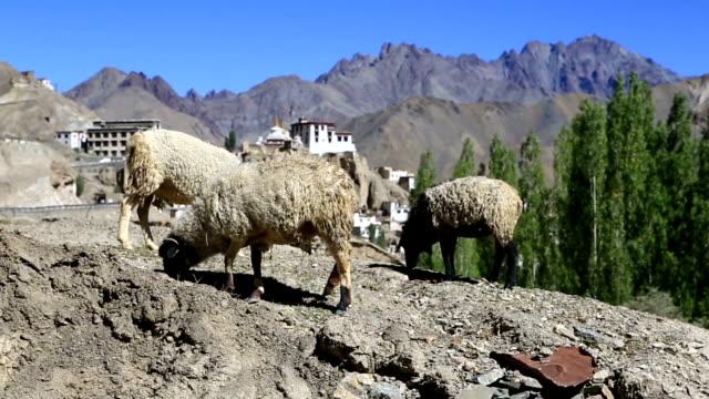 goat and Lamayuru monastery in Ladakh