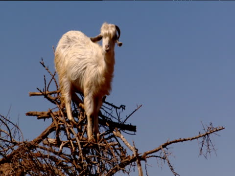 Goat balanced in tree looking uncomfortable Morocco