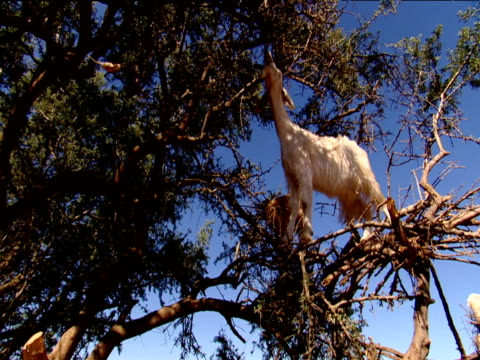 goat balanced on branch of tree grazing morocco - goat stock videos and b-roll footage