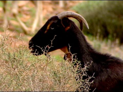 goat (capra aegagrus hircus) browsing, andalucia, spain - 草食性点の映像素材/bロール