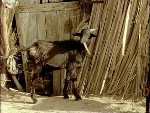 MCU Goat chewing on reeds at doorway of hut, Algeria, Africa