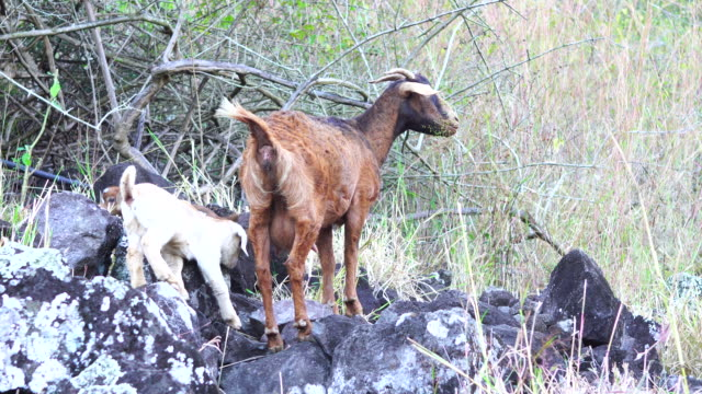 goat climbing with offpring - mafate cirque stock videos & royalty-free footage