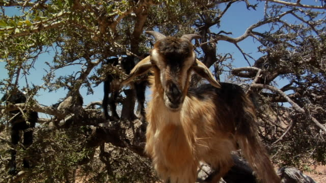 ms goat eating leaves off of tree as other goats stand in background/ morocco - goat stock videos and b-roll footage