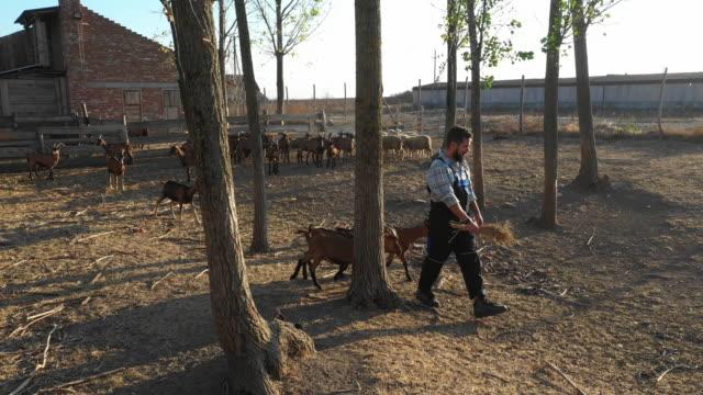 ヤギの農場 - シェーブルチーズ点の映像素材/bロール