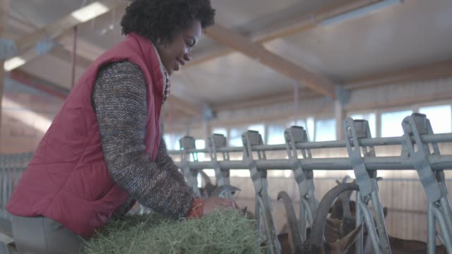 goat farm - farmer hay stock videos & royalty-free footage