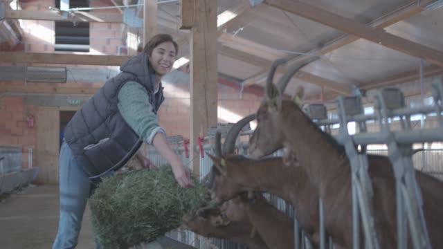 ヤギ牧場 - シェーブルチーズ点の映像素材/bロール