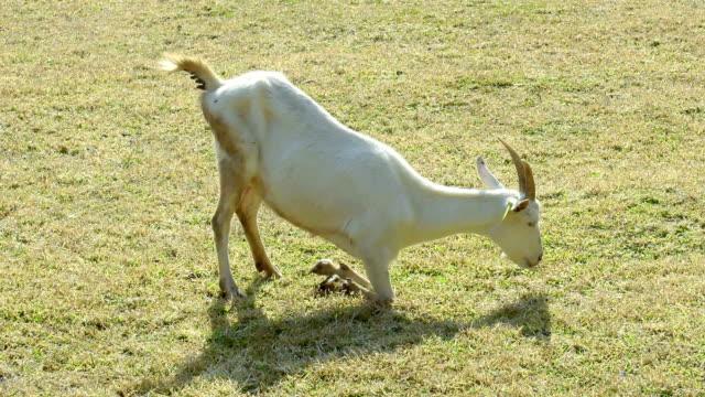 goat feeding - smirking stock videos and b-roll footage