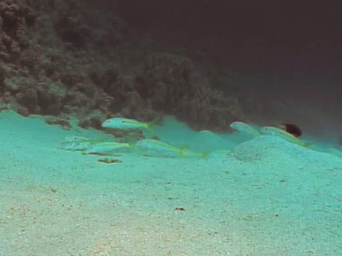 goat fish foraging on sandy bottom - triglia tropicale video stock e b–roll