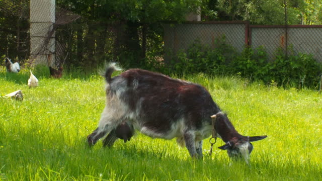 goat grazing on salad green meadow